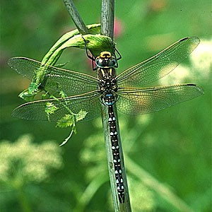 dragonfly pic